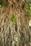Buddhas head bayan tree roots sukhothai thailand. Iconic buddhas head trapped in the roots of old bayan tree in the ancient thai capital of ayutthaya northern royalty free stock photos