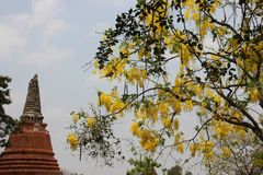 Flowering Cassia Fistula And Ancient Pagoda. Flowering blossoming of golden shower and tree leaves with old stupa and blue sky summertime in Thailand royalty free stock photos