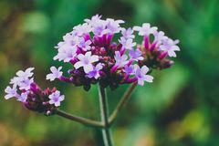 Purple flowers on green leafs background. Flowers in the garden Stock Photography