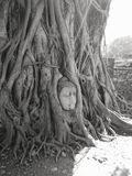 Buddhism statue head inside tree at Ayutthaya temple ruins stock photo