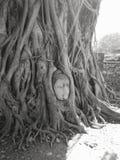 Buddhism statue head inside tree at Ayutthaya temple ruins Stock Photo