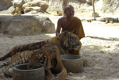 Buddhist monk with bengal tiger,thailand,asia,cat Stock Image