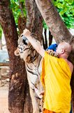 Buddhist monk feeding with milk a Bengal tiger in Thailand Stock Photography