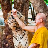 Buddhist monk feeding with milk a Bengal tiger in Thailand Stock Photo