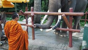 Buddhist monk feeds elephants with bananas in zoo of Chiang Mai in Thailand