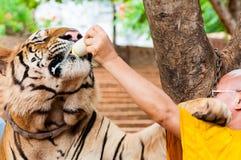 Buddhistischer Mönch, der mit Milch einen Bengal-Tiger in Thailand einzieht Lizenzfreie Stockfotos