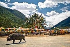 Buddhistisches Gebet kennzeichnet wilde Schweine in den tibetanischen Bergen stockbilder