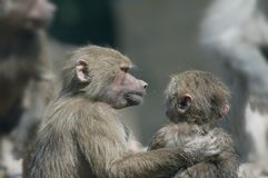 Buddies. Monkey holding the other monkey like tey are buddies royalty free stock image