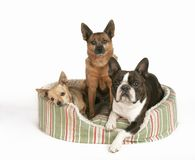 Buddies. Three dogs in a small pet bed Stock Photography