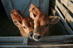 Buddies. Two Jersey bull calf buddies Royalty Free Stock Photos