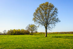 Budding big tree in a large meadow with fresh green grass and ye Stock Photo