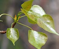 Budding Birch tree with new leaf growth in Spring Stock Images