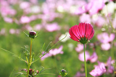 Budding and blooming cosmos. Budding and blooming pink cosmos in garden stock images
