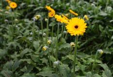 Budding and blooming yellow Gerbera plants Stock Photo