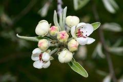 Budding Blossom Royalty Free Stock Photo