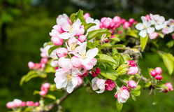 Budding and blossoming crabapple twig from close Royalty Free Stock Photography