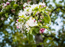 Budding and blossoming crabapple twig from close Stock Images