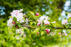 Budding and blossoming crabapple twig from close Royalty Free Stock Image