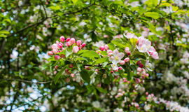 Budding and blossoming crabapple twig from close Stock Photo