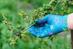 Budding branch. Female hand holding with glove a budding branch royalty free stock images
