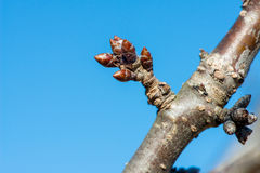 Budding branches in the spring against the blue sky Stock Images