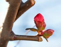 Budding bud in January Stock Image