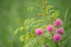 Budding catclaw brier - mimosa nuttallii Stock Photo