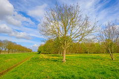 Budding chestnut tree in a field Stock Images