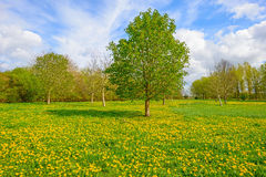 Budding chestnut tree in a field Royalty Free Stock Photography