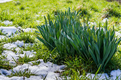 Timid spring. Budding daffodils growing alongside the remains of the snow Royalty Free Stock Photo