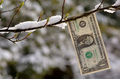 Budding Dollar. American dollar bill hanging from a snowy branch Royalty Free Stock Photography