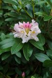 A budding flower of pink rhododendron flower in a city park.  stock image