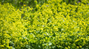 Budding and flowering Alchemilla Mollis plants Stock Photo