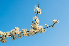 Budding and flowering Amelanchier branches Royalty Free Stock Image
