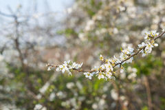 Budding and flowering Amelanchier branches Stock Image