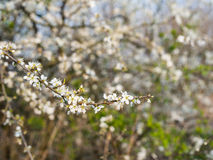 Budding and flowering Amelanchier branches Stock Photos