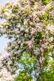 Budding and flowering crab apple blooms from close Stock Photography