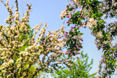 Budding and flowering crab apple blooms from close. Closeup of red budding and pink flowering crab apple blooms against a blurred natural background. It is royalty free stock photo