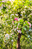 Budding and flowering crabapple blooms from close Stock Image