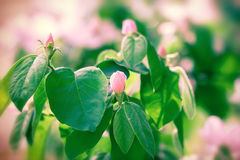Budding and flowering fruit tree Royalty Free Stock Images
