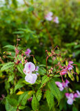Budding and flowering Himalayan Balsam Stock Images