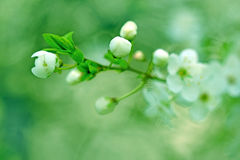 Budding - Flowering in spring Stock Image
