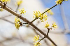 Budding and flowering tree branch. early spring nature landscape. First spring tree flowers. royalty free stock photo
