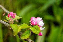 Budding and flowering wild apple tree from close Royalty Free Stock Photography