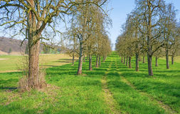 Budding fruit trees in an orchard in spring Royalty Free Stock Photo