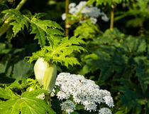 Budding giant hogweed from close Stock Images