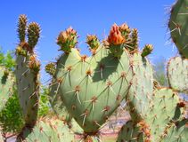 USA, Arizona: Prickly Pear Cactus: A Budding Heart Royalty Free Stock Photo