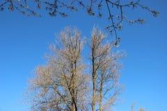 budding Jonge Bladeren en het Bloeien het Bloeien Witte Japanse Sakura royalty-vrije stock afbeeldingen