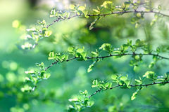Budding leaves, begins new life !. Young spring leaves lit by sunlight royalty free stock images