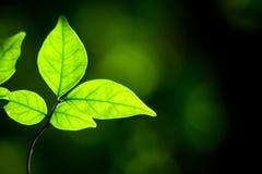 Budding leaves Stock Photography